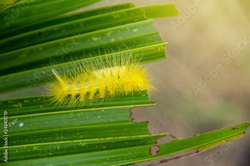 Fotografia, Obraz  Yellow slug worm, Calliteara horsfieldii in the agricultural garden organic