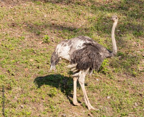 big ostrich Bird
