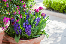 Tulips And Hyacinth In Flower Pots Outdoor. Spring Gardening On Town Streets. Spring Scenes, Purple, Pink And Lilac Blooming Flora And Green Grass.