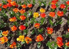 Flowerbed Of Red, Yellow And Orange Tulips