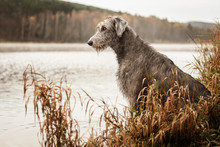 Irish Wolfhound. Big Gray Dog Sitting On The River Bank.