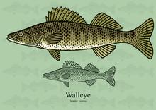 Walleye, Yellow Pike. Vector I...