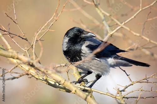 Fotografía  Hooded crow in the wild