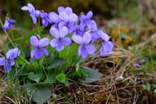 Wald-Veilchen (Viola Reichenbachiana) Blüten