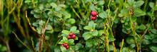 Cowberry Ripe Wild Lingonberri...