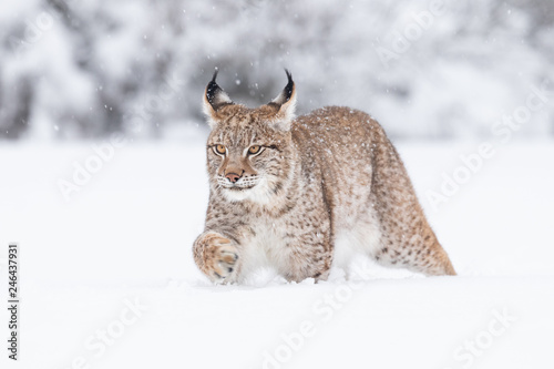 Young Eurasian lynx on snow Fototapeta
