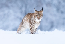 Young Eurasian Lynx On Snow. A...