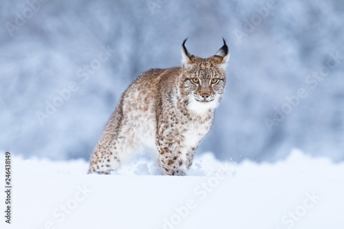 Fotobehang Lynx Young Eurasian lynx on snow. Amazing animal, walking freely on snow covered meadow on cold day. Beautiful natural shot in original and natural location. Cute cub yet dangerous and endangered predator.