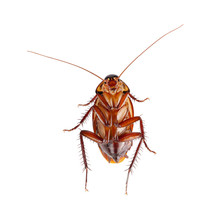 Close-up Cockroach Isolated Over A White Background