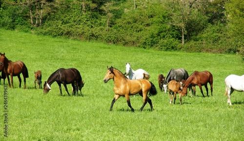 Fotografie, Obraz  Lusitanian stallion taking care of his mares