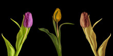 Fine Art Still Life Color Macro Set Of Three Isolated Tulip Blossoms With Leaves On Black Background With Detailed Texture In Vintage Painting Style
