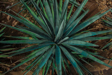 Detail Of Agave Plant From The...