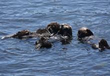 Three Sea Otters Rafting On Th...