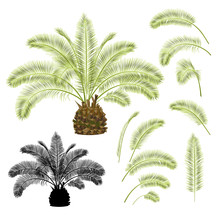 Tropical Plant Palmae Phoenix Canariensis Date Palm Arecaceae And Leaves And Silhouette On A White Background Vintage Vector Illustration  Editable Hand Draw