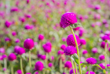 Purple Amaranth Flower In The ...