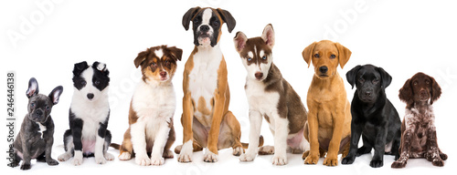 Staande foto Franse bulldog Group of purebreed puppies isolated on white background