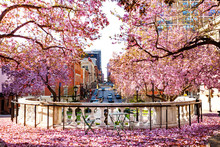 Baltimore City With Flowering Magnolia In Spring