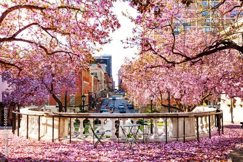 Fotobehang Amerikaanse Plekken Baltimore city with flowering magnolia in spring