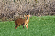 Muntjac Deer In A Field, Looki...