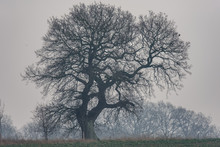 Oak Tree In Winter, Silhouetted Against The Sky