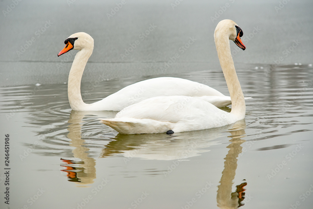Two whooper swans at the lake in winter