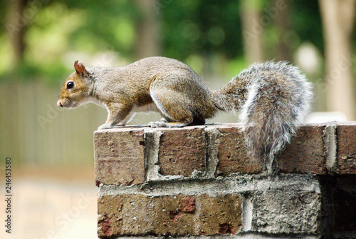 Fotografia  Side View of an Eastern Grey Squirrel on a Ledge