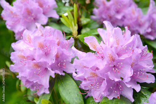 Tuinposter Azalea Flowers of a pink rhododendron (Rhododendron L.) close up