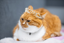 Portrait Of Red White Home Norwegian Cat With Princess Crown On Head.