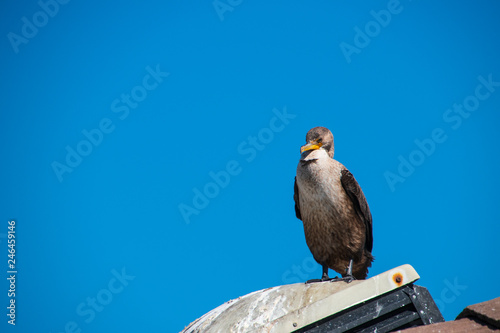 Fotografie, Obraz  One California Gull standing on a roof vent