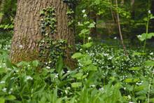 Green Wild Vegetation In Th Springtime Forest