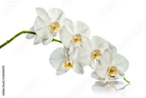 Tuinposter Orchidee Orchid. A branch of white orchids. Greeting card. Beautiful composition. Isolate on white background. White orchid branch with reflection on white background