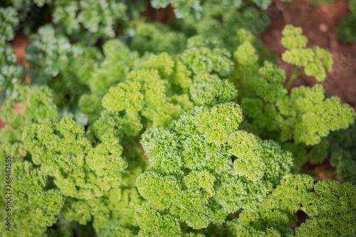 Cadres-photo bureau Olive Fresh green parsley in the garden.