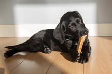 Labrador Puppy Gnaws A Bone.