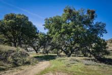 Oak Trees Over Dirt Walking Trail