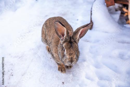 Plakat Szary królik siedzi na śniegu