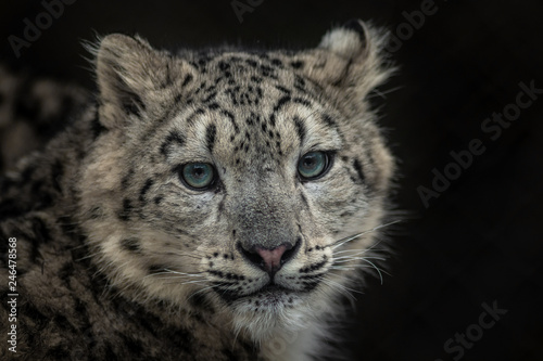 In de dag Panter Snow leopard (Irbis)