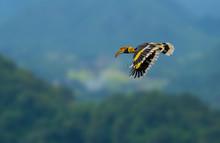 Great Hornbill, Buceros Bicorn...