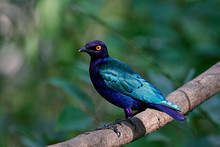 Purple Glossy Starling (Lampro...