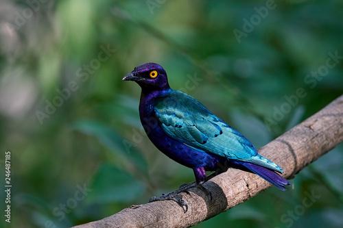 Fotografía  Purple glossy starling (Lamprotornis purpureus)