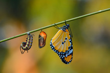 Amazing Moment ,Monarch Butterfly And Caterpillar And Chrysalis