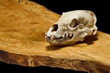 Close Up Of Bear Skull On Wood...