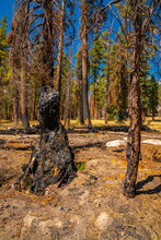 Yosemite National Park Forest Fire And Burned Trees