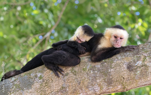 Baby white-headed capuchin sleeping on the back of his mother in the tropical fo Wallpaper Mural