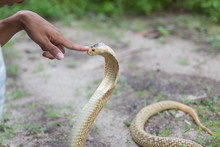Man Hypnotize Cobra Snake With His Forefinger During Showing