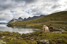Scottish Highland Cattle Grazing On Patteriol Mountain