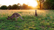 Two Australian Kangaroos In A Field At Sunset