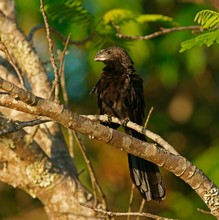 Smooth-billed Anis (Crotophaga Ani), Pantanal, Brazil, South America