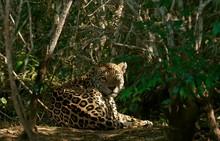 Jaguar (Panthera Onca) Hides In Dense Vegetation, Pantanal, Mato Grosso, Brazil, South America