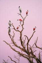 Wood Storks (Mycteria Americana) And Roseate Spoonbill (Ajaia Ajaja) Sit In The Tree, Dawn, Pantanal, Mato Grosso, Brazil, South America