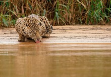 Jaguar Drinking Water At River